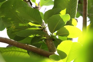 Magnolia officinalis branches and leaves