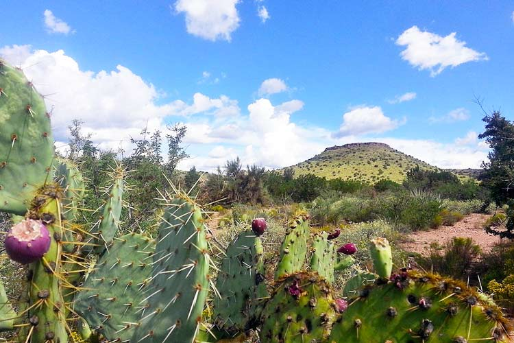 Arizona desert landscape with Opuntia plants in foreground
