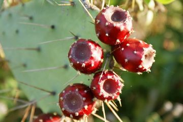 red prickly pear fruit growing on cactus