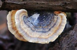 turkey tail mushroom growing in wild on log